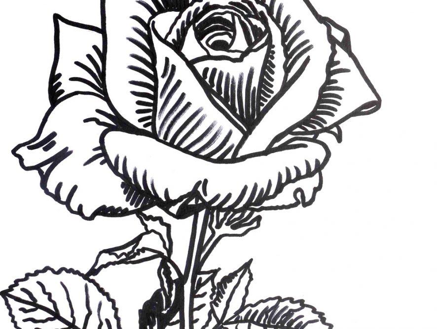 rysunek róża, szkic kwiat