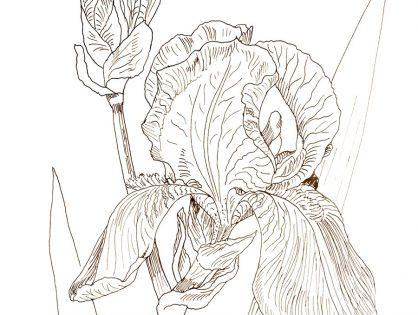 rysunek tuszem kwiaty - halina jaskłowska