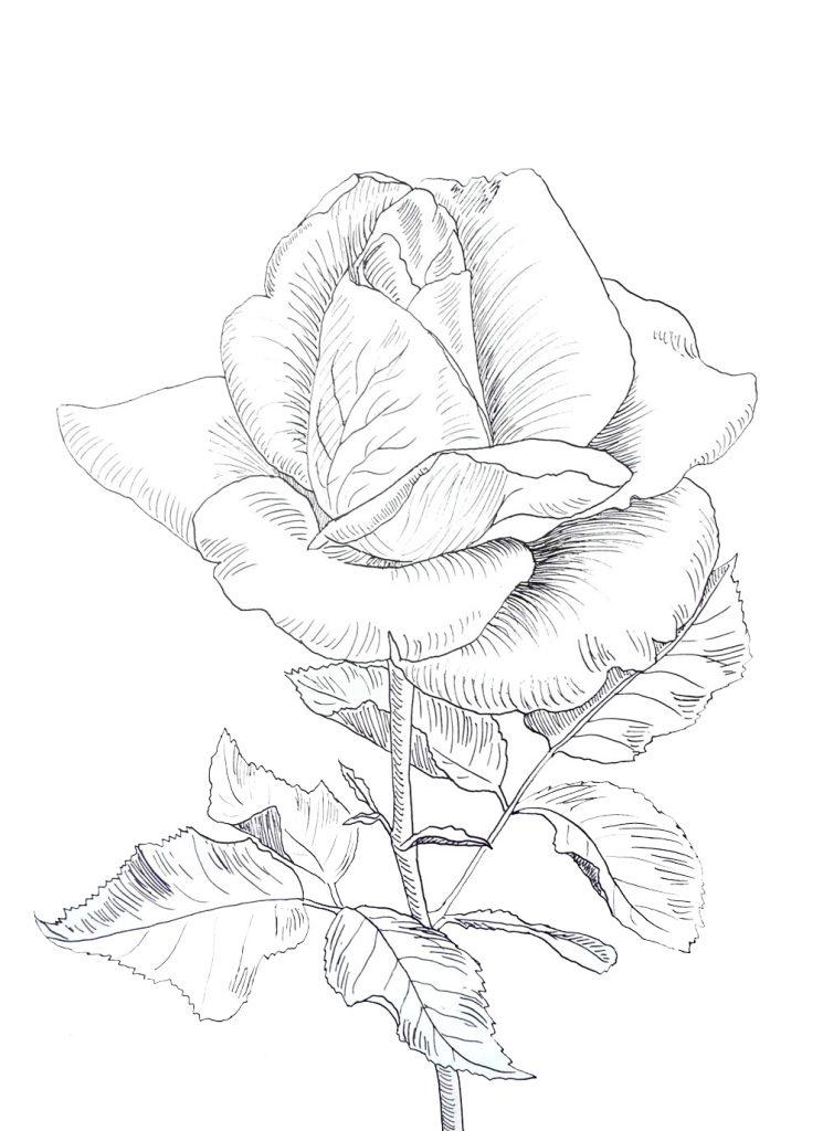 róża rysunek tuszem